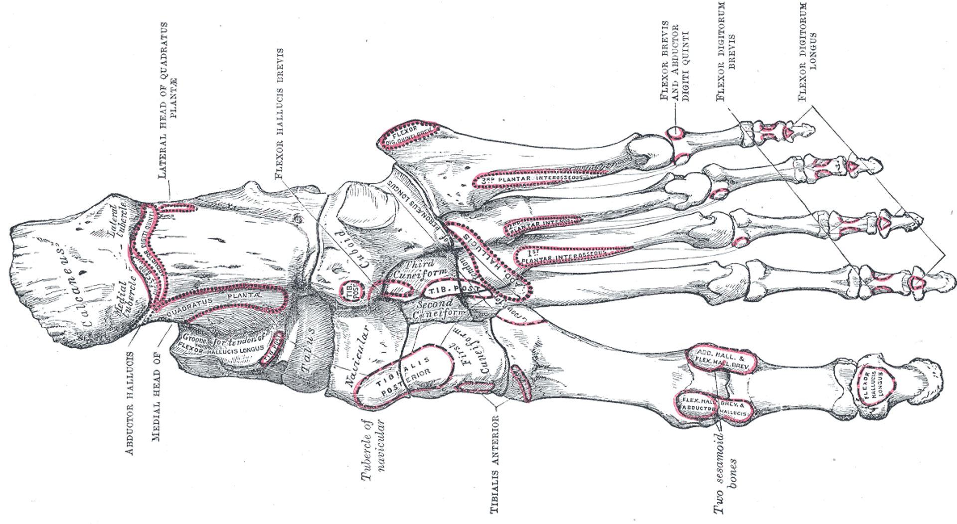 Grays Anatomy Fig 269 - Foot